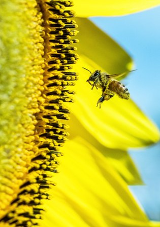 Honey bee collecting pollen from sunflower