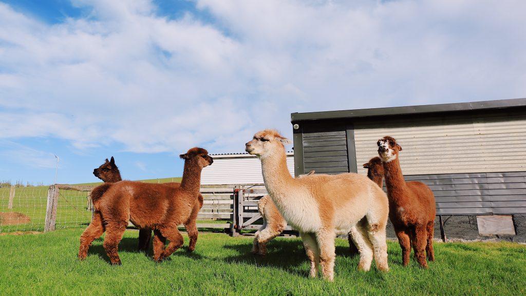 Property-Harmonising-alpaca-farm